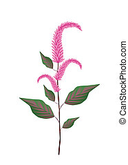 Fresh Red Amaranth on A White Background - Vegetable and...