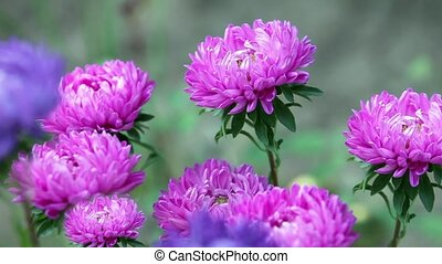 Bright flowers asters