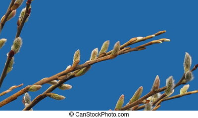 Pussy willow - willow flowers bloom on a blue background,...