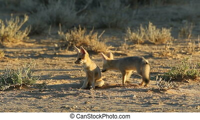 Cape foxes - Cute Cape foxes (Vulpes chama) at their den,...