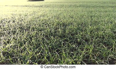 winter crops rime - panorama of winter crop cereal wheat...