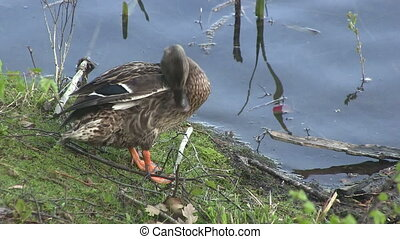 A duck preening on a river bank.