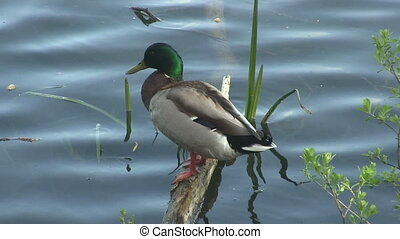 A duck standing on a log in a river