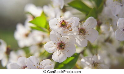 Pear blossoming flowers in the spring as seasonal background