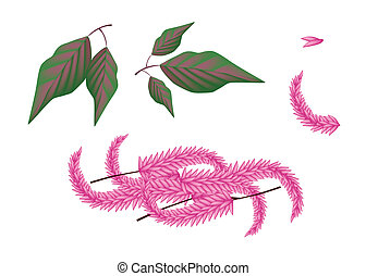 Parts of Amaranthus Cruentus Plant on White Background -...