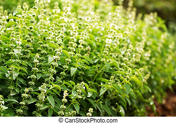 Holy Basil is grown as a vegetable garden.