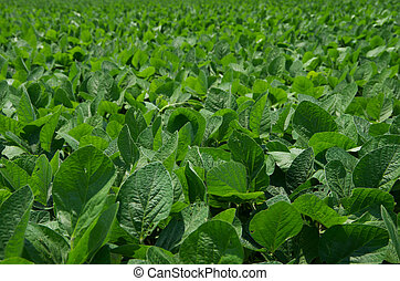 Soybean Field - A clean field of soybeans.