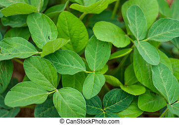 Alfalfa Leaves - A close up view of alfalfa leaves.