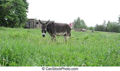 donkey graze pasture rain - donkey animal tied with chain...