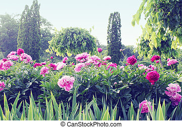 peony garden - Large white flower blossomed tree peony