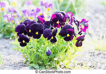 purple pansy - big bush blooming flowers, pansies in the...