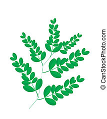 A Fresh Moringa Leaves on White Background - Vegetable and...