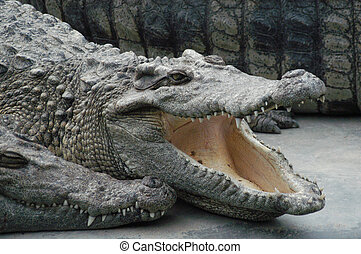 hungry croc - crocodiles waiting to be fed