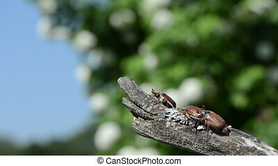 cockchafer - beetles climb up a branch spreads wings and...