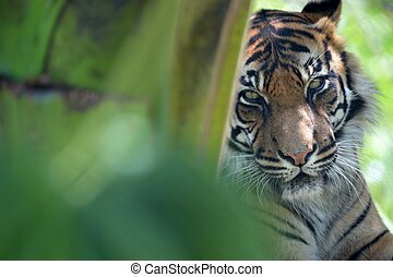 Sumatran Tiger - A close up shot of a Sumatran Tiger