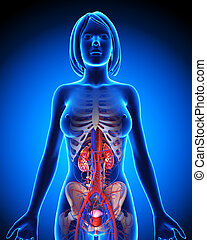 Anatomy of female urinary system - 3d rendered illustration...