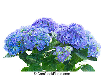 bunch of blue hortensia flowers isolated on white background...