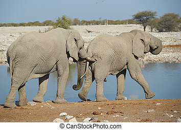 Nudge - Large male African Elephant (Loxodonta africana)...