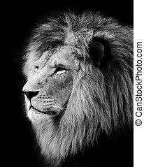 Lion - Wild lion portrait in balck and white