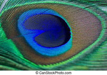 Closeup of a beautiful peacock feather - Beautiful feather...