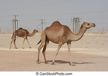 camels in oman - camels on the move