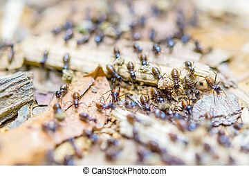 Black termites evacuate to a new place in a rain forest.