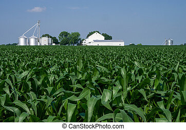 Corn Field - A field of corn with a farm in the background.