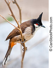 crested bunting - thecrested bunting in the spring time on...