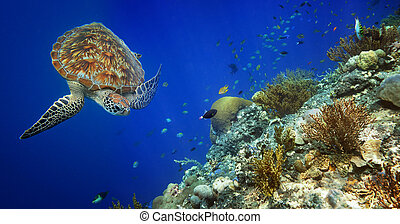 Sea turtle swimming over the coral reef. - Sea turtle...
