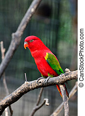 Chattering Lory standing on the branch