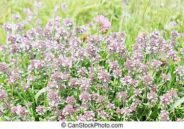 flowering thyme - meadow with flowering thyme Seasoning for...
