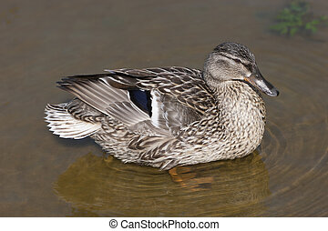 Female duck on the water