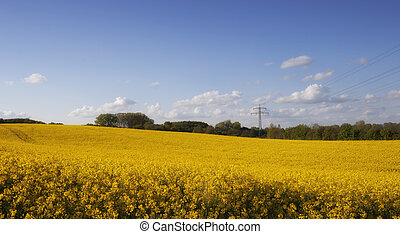 Bright yellow Canola Field