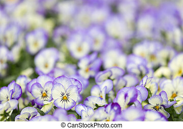 Field of violets with selective fo - Field of violets with...