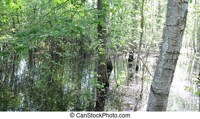 birch trunk water - verdant beautiful young birch trunk...