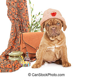 Puppy of French Mastiff breed - Cute puppy of French Mastiff...