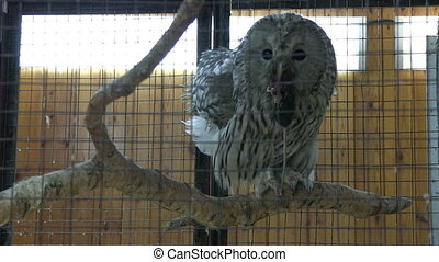 Owl eating mouse in the cage