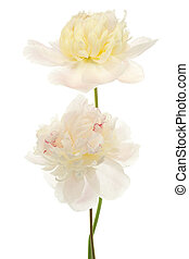 peony - Studio Shot of Beige Colored Peony Flowers Isolated...