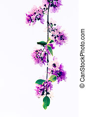 Lagerstroemia macrocarpa Wall flower - Inthanin flowers or...