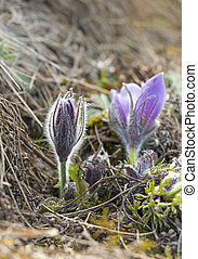 pasque flower - Close up of bud of pasque flower in spring