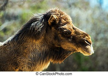 Bactrian Camel Native to the Steppes of Central Asia. Head...