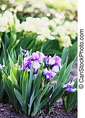 Shrub fragrant purple iris