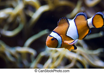 nemo - an exotic fish swimming
