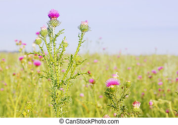 milk thistle - dosage milk thistle growing on the field