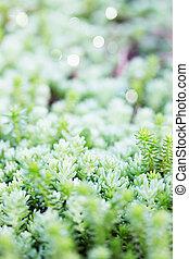 sedum succulent, unpretentious, evergreen, ground cover...
