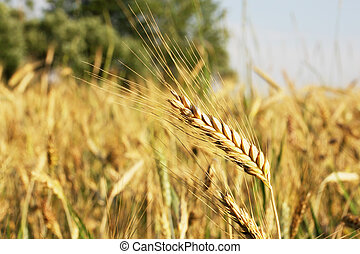 Ear of wheat on a large field