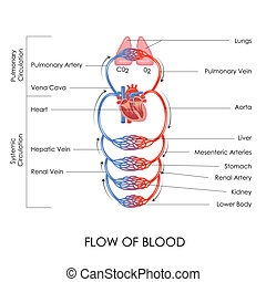 Circulatory System - vector illustration of flow of blood in...