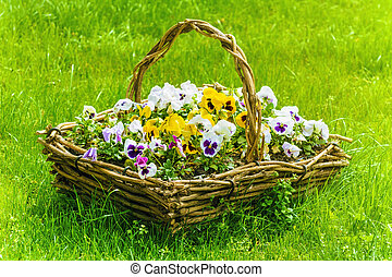 Pansy - Bunch Of Flowers In The Basket Among The Grass