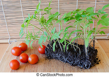 tomato seedlings in earth and red tomatoes on tray