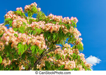 Pink Blossom Acacia Tree Brunches on Bright Blue Sky...